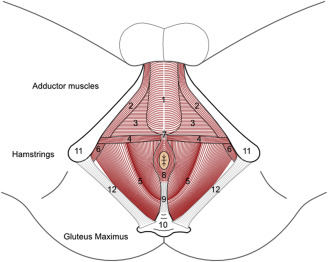 The Role of Pelvic Floor Muscles in Male Sexual Dysfunction